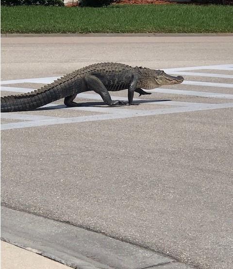 Name:  gator sidewalk 2019.jpg Views: 184 Size:  120.1 KB