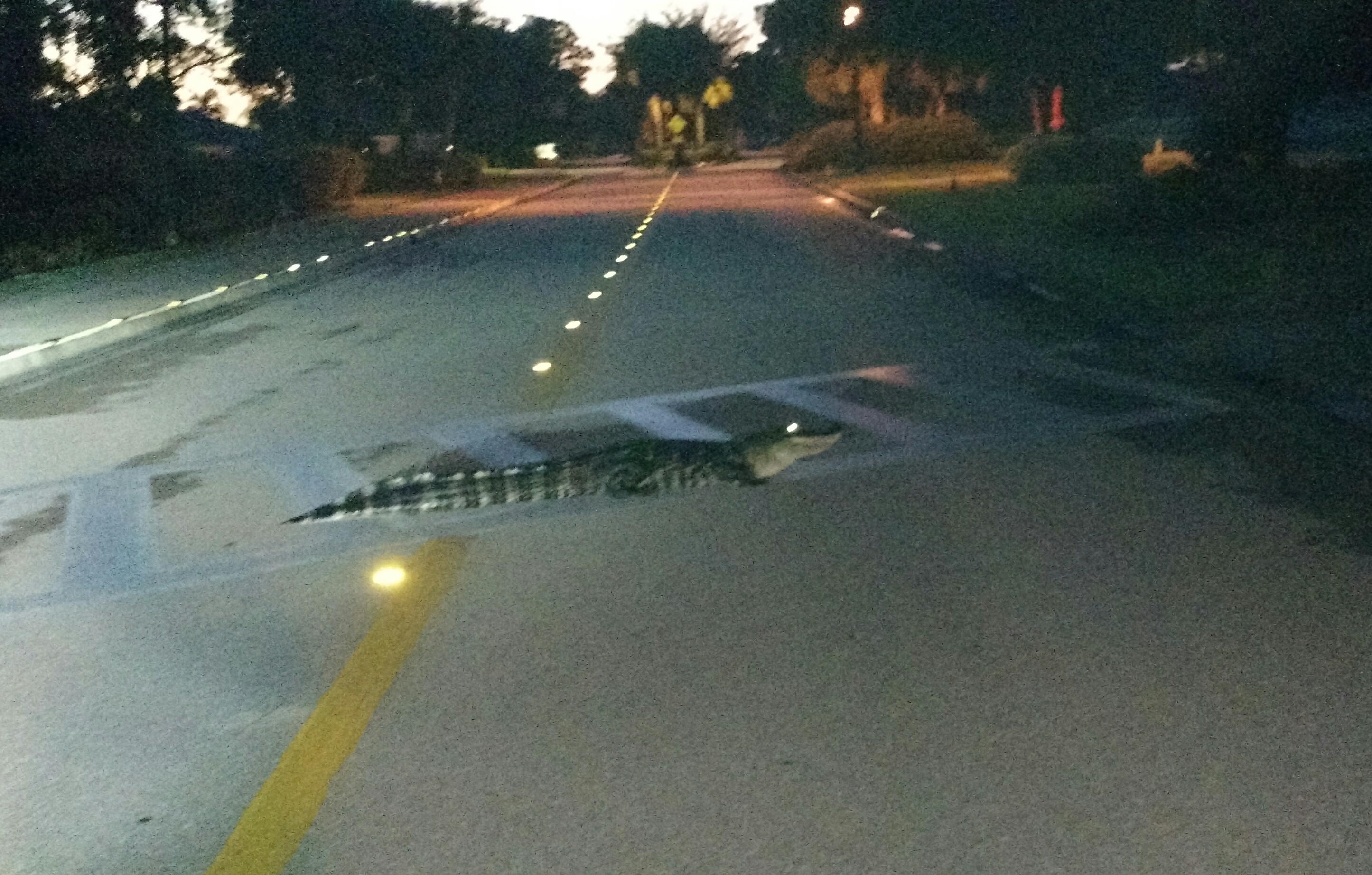 Name:  gator sidewalk.jpg Views: 187 Size:  1.14 MB